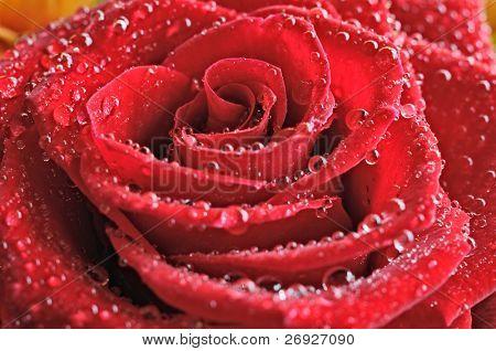 """rote Rose """"und"""" Tropfen Nahaufnahme"""