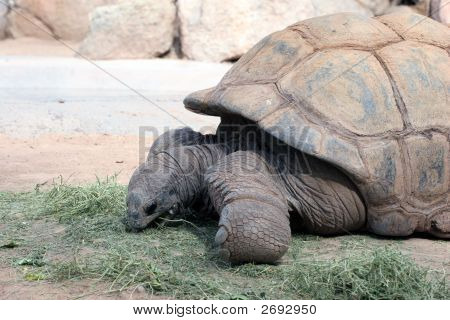 Tortoises Eating Grass