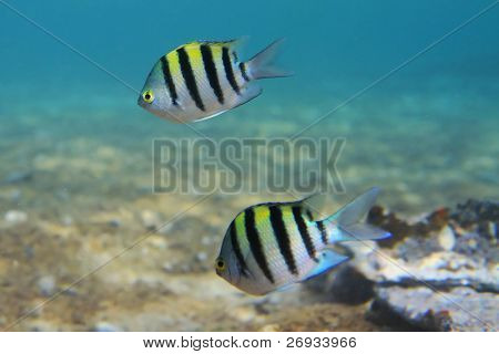 Sergeant major fishes - Red Sea underwater