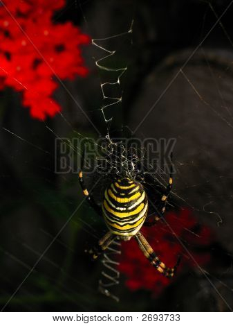 Wasp Spider On Web