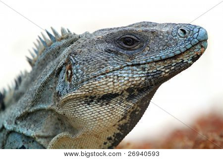 Wild iguana portrait on the beach
