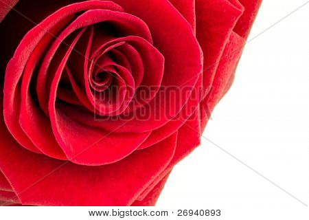 Beautiful red rose close up over white background