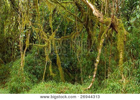 Lianas in Africa