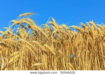 Golden Ripe Wheat
