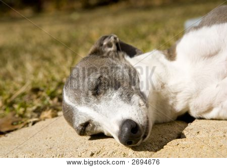 Sleeping Greyhound