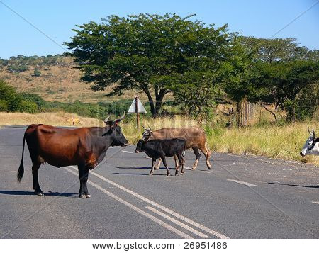 African cattle on tar road