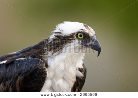 Close Up Head Shot Of An Osprey