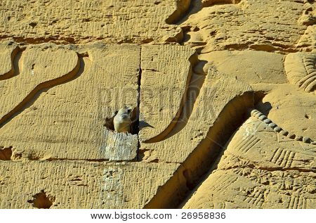 Sparrow in Kom Ombo temple, Egypt