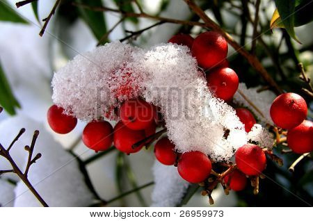 Snow on red winter berries