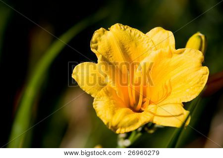Beautiful hemerocallis, yellow flower