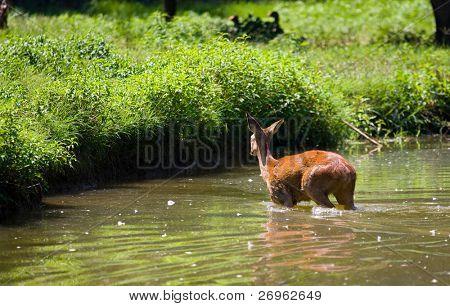 Doe deer in a river