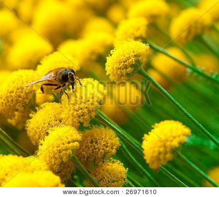 Bee on a little yellow flower