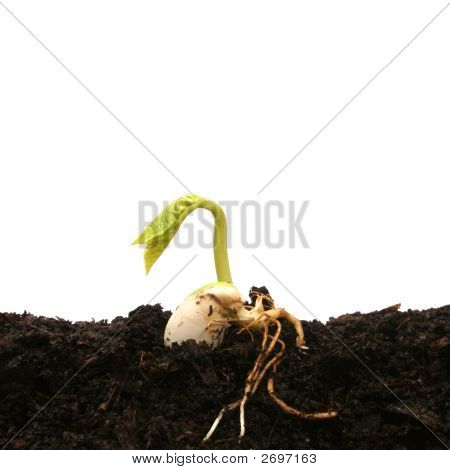 Bean Seed Germinating