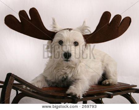 Westie Reindeer