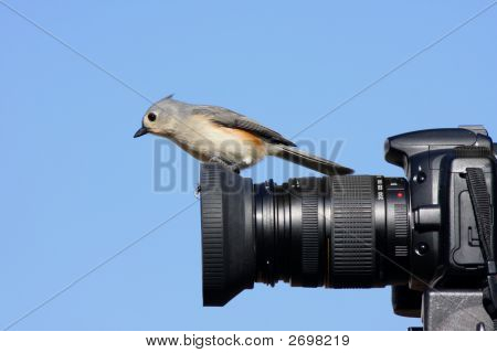 Titmouse On Camera