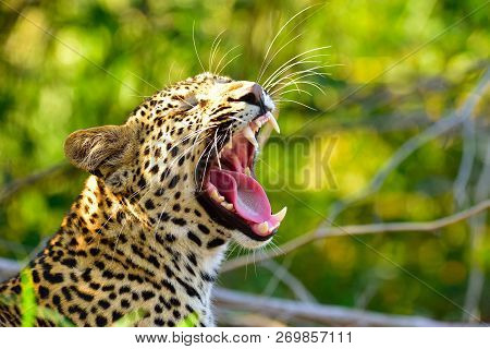 Yawning Male Leopard Waking Up