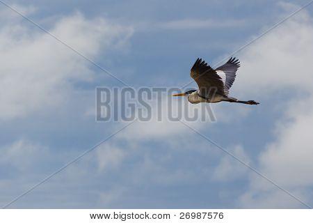 Blanco cuello blue heron en vuelo