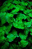 A Lush Healthy Green Patchouli Plant Is Wet From Being Rained On Making Colors More Intense. Scent I poster