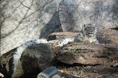 foto of snow-leopard  - Snow Leopard sunning on the rocks with boulders behind - JPG