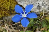 stock photo of rare flowers  - Single flower of Spring Gentian  - JPG
