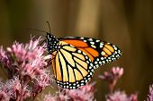 foto of monarch butterfly  - Monarch butterfly on a pink flower - JPG