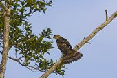 pic of small-hawk  - Sharpshinned Hawk Perched in a tree with hid tail spread for balance - JPG