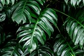 Tropical Deep Forest Leaves Jungle Leaves Green Plant Wet In Rainforest. poster
