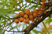 A Bush Of A Beautiful Bush Of Sea Buckthorn With Bright Orange Berries In The Summer Warm Day poster