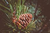 Evergreen Pine Three Branch With One Pine Cone. Fir-tree, Conifer, Spruce Close Up, Blurred Backgrou poster