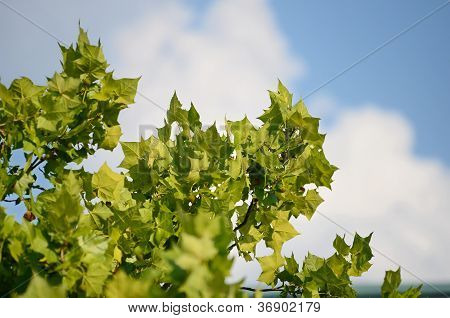 Sycamore leaves closeup