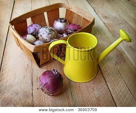 Hyacinth Bulbs In A Basket On A Wooden Table