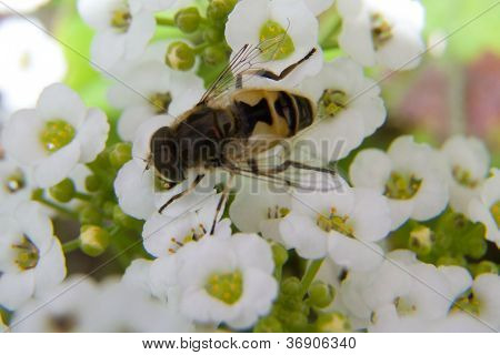 Native Irish Bee