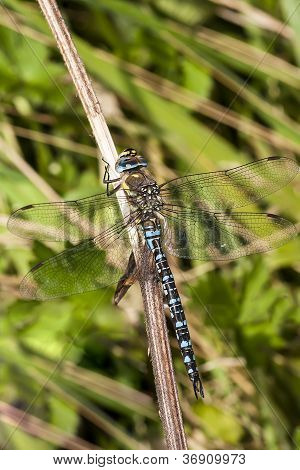 Migrant Hawker (Portrait)
