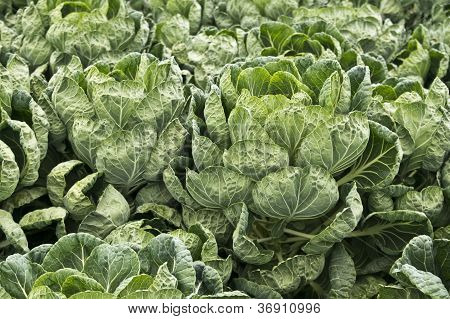 Brussels Sprout Plants