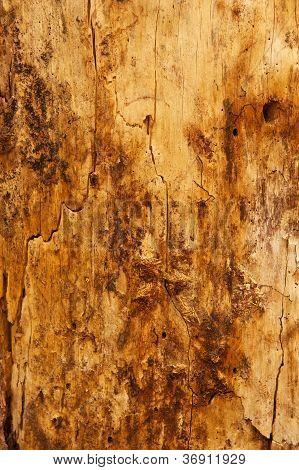 Dirty Ponderosa Pine Tree