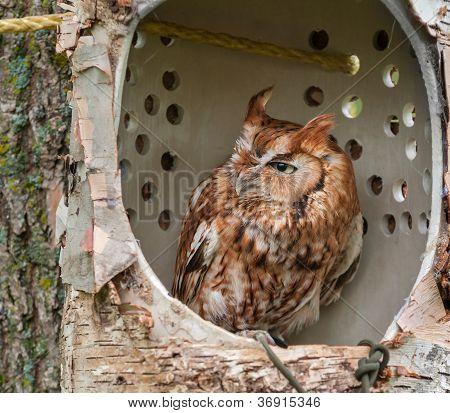 Eastern Screech Owl (Megascops asio) In Simulated Tree Cavity Perch