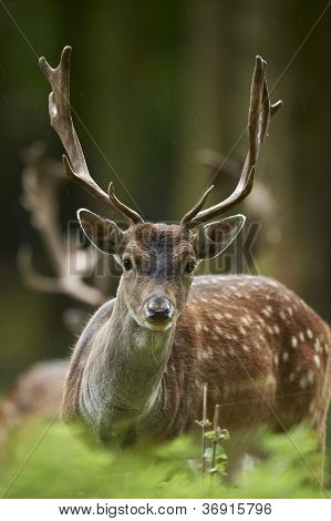 Head Shot Of A Fallow Deer Stag (dama Dama)