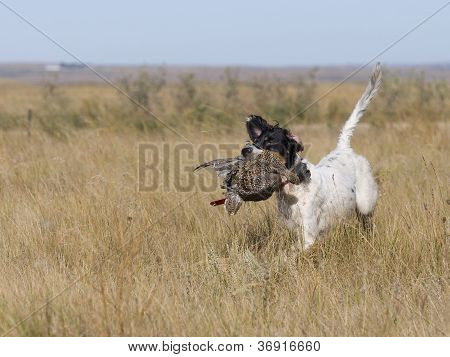 English Setter With Grouse