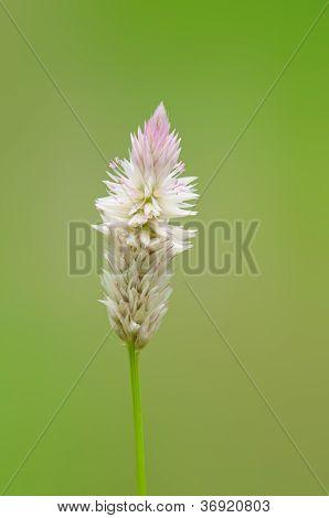 Feather Cockscomb