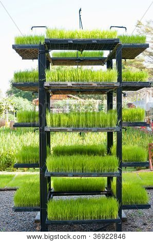 Rice Seedling In Tray On Shelf