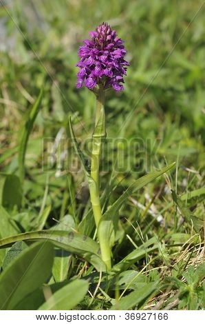 Irish Marsh Orchid