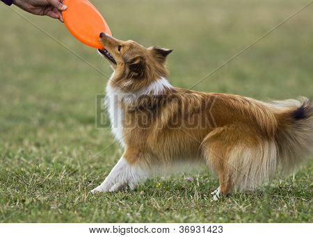 Sheltie Playing Frisbee
