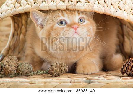 British Kitten Looking Out From Under A Basket