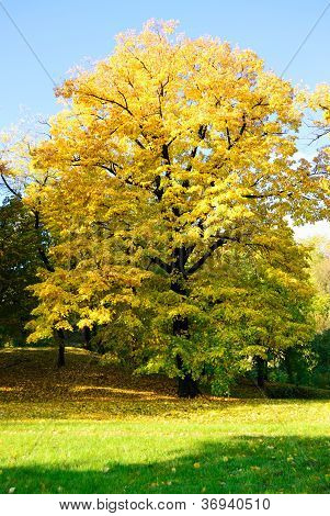 Yellow Tree In Park