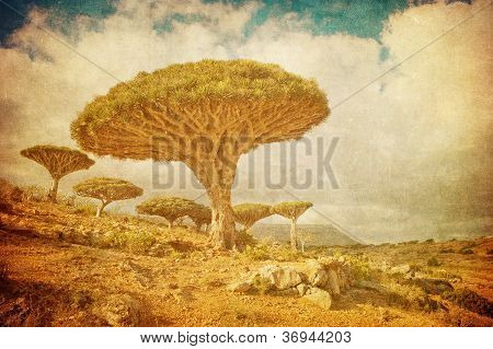 Vintage Image Of Dragon Trees At Dixam Plateau, Socotra Island, Yemen.