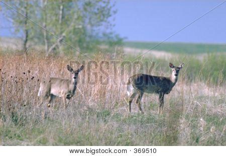 2 Mule Deer