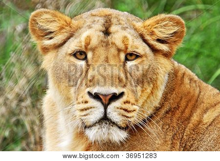 lioness head shot with blurred green background