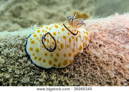 Nudibranch In The Red Sea, Egypt