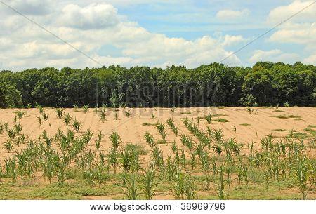Campo de maíz seca