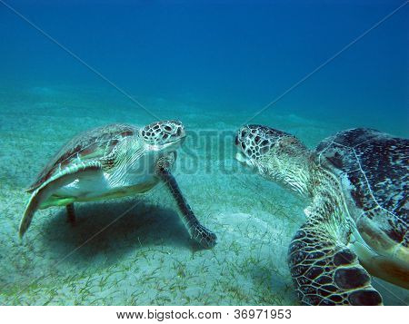 two sea turles on the bottom of red sea